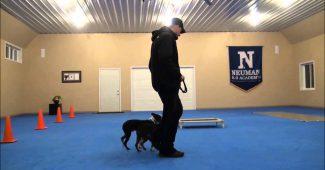 Breeding the Boston Terrier