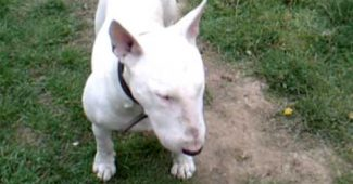 Breeding the Bull Terrier