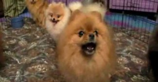 Breeding the Pomeranian